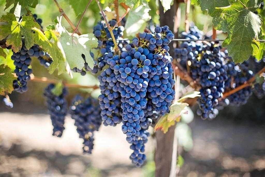 siyah üzüm bağı