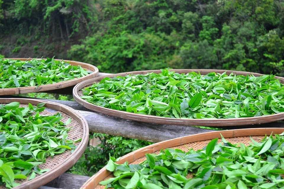 çay yaprakları