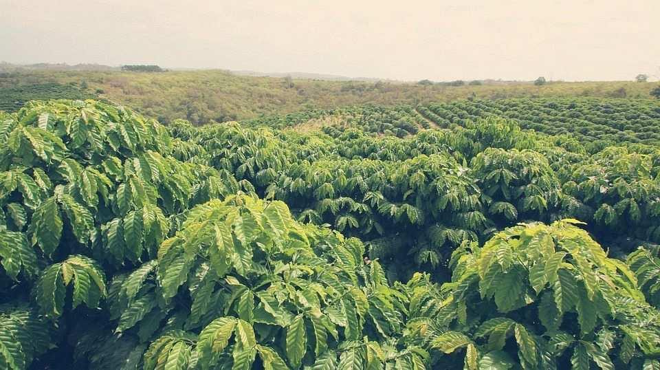 kahve ağaçları