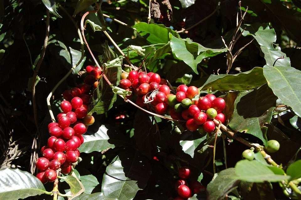 kırmızı kahve meyvesi