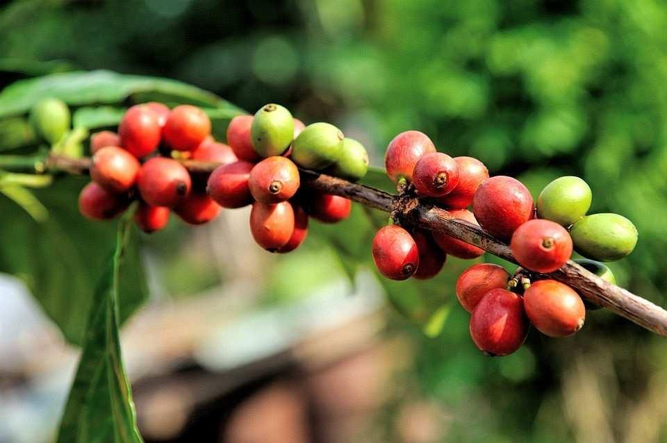 kırmızı ve yeşil kahve meyveleri