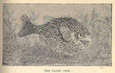 dünyanın en zehirli hayvanları kirpi balığı