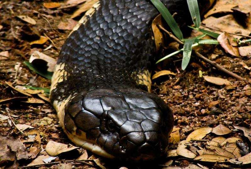 dünyanın en zehirli hayvanları kral kobra