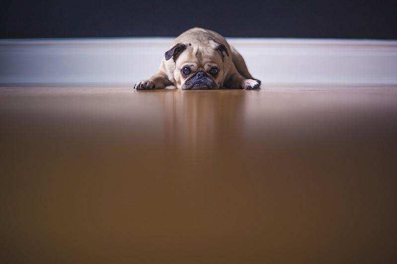 gizli başarısızlık korkusu köpek puf