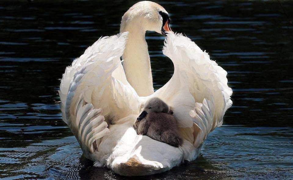 kuğu yavru kuğu